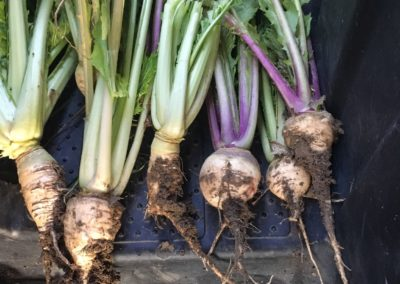 Group Of Beets and Turnips 2